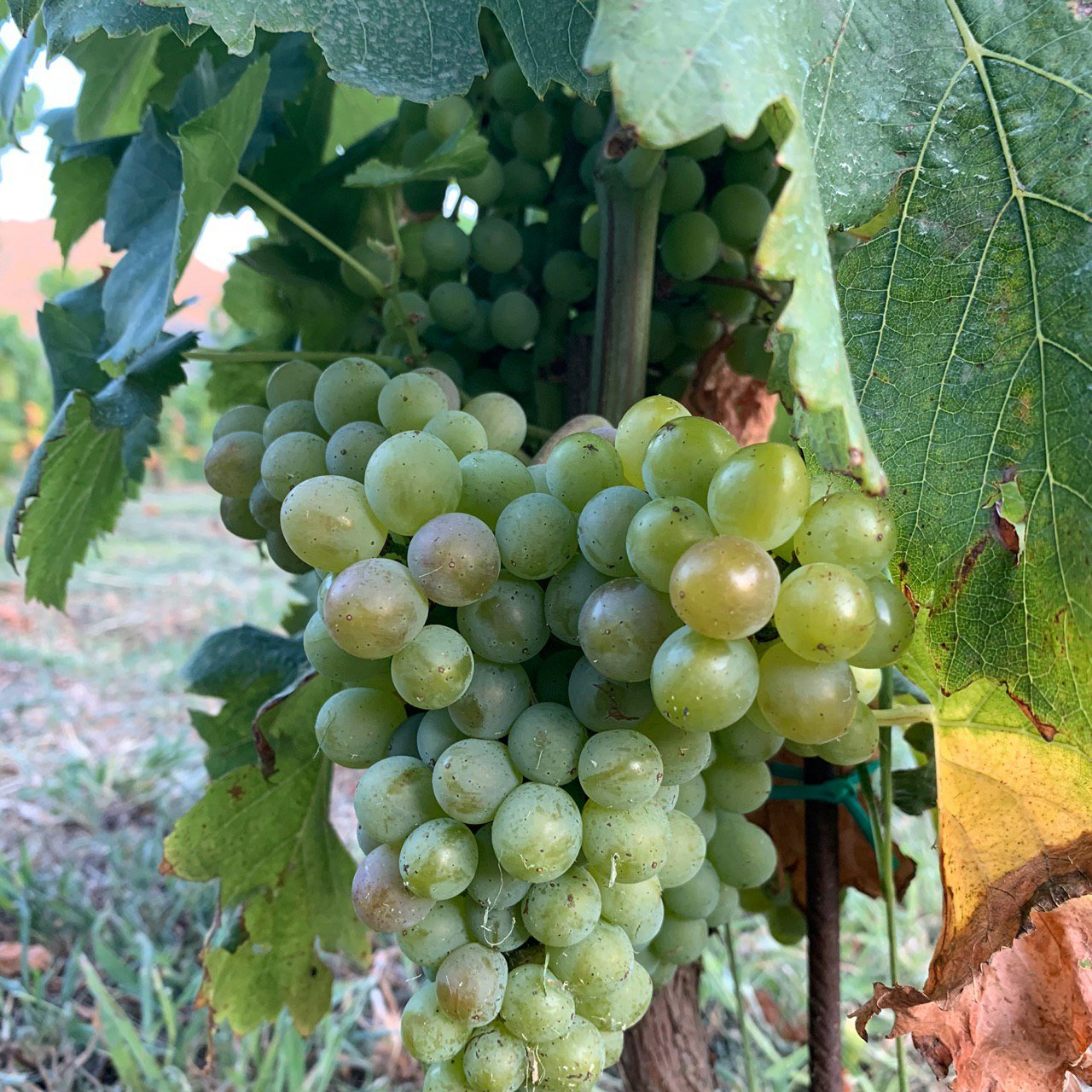 Read more about the article Vino Bianco